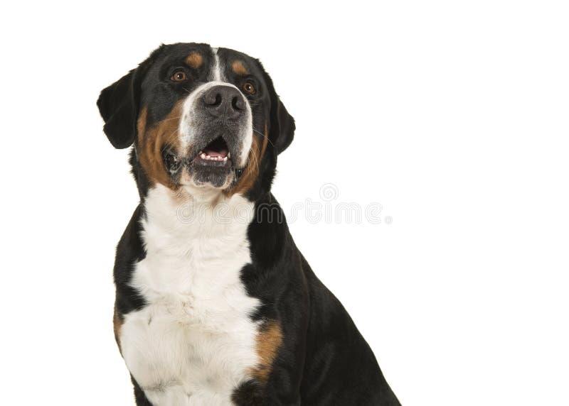 Retrato de um grande cão suíço da montanha em um gabinete branco do fundo fotografia de stock royalty free