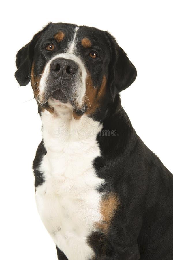 Retrato de um grande cão suíço da montanha em uma sagacidade branca do fundo fotografia de stock