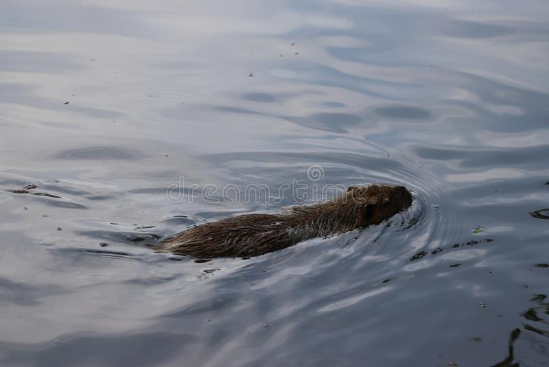Retrato de um grande coypu, igualmente conhecido como o nutria, nadando nas águas pouco profundas imagem de stock
