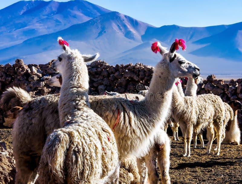 Retrato de um homem e de um close-up fêmea das Lamas Lama doméstica Animais bonitos fotos de stock royalty free