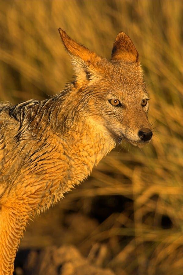 Retrato de um jackal imagens de stock royalty free