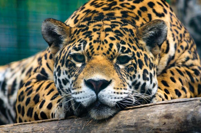 Retrato de um jaguar de encontro muito próximo fotos de stock royalty free