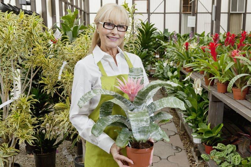 Retrato de um jardineiro superior que guardara a planta de potenciômetro no Garden Center foto de stock
