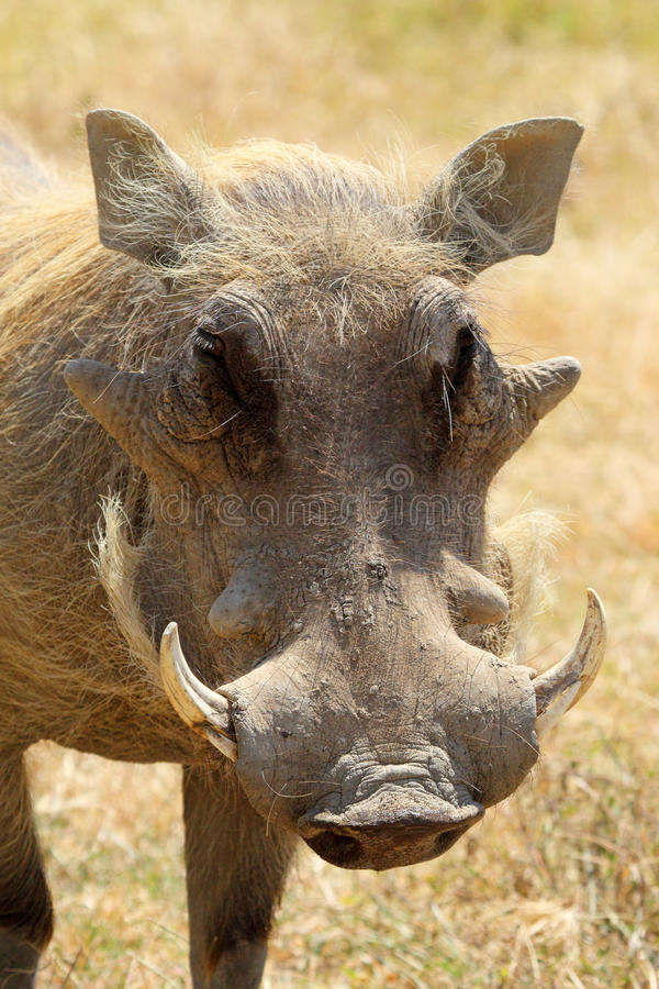 Retrato de um javali africano imagem de stock royalty free