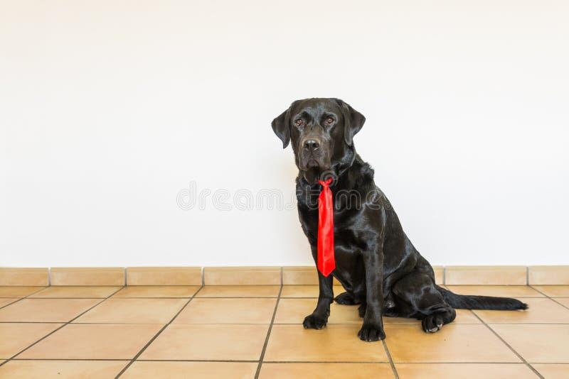 Retrato de um Labrador preto com o laço vermelho que olha a câmera imagem de stock