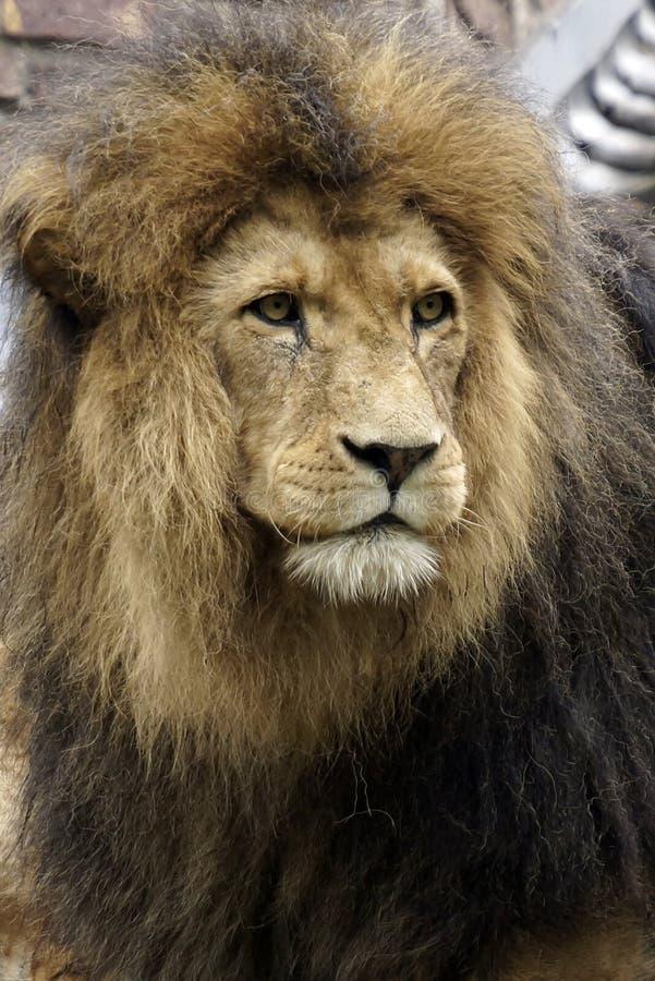 Retrato de um leão africano masculino bonito imagem de stock royalty free