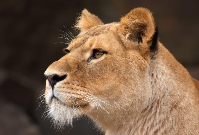 Retrato de um leão fêmea fotografia de stock royalty free