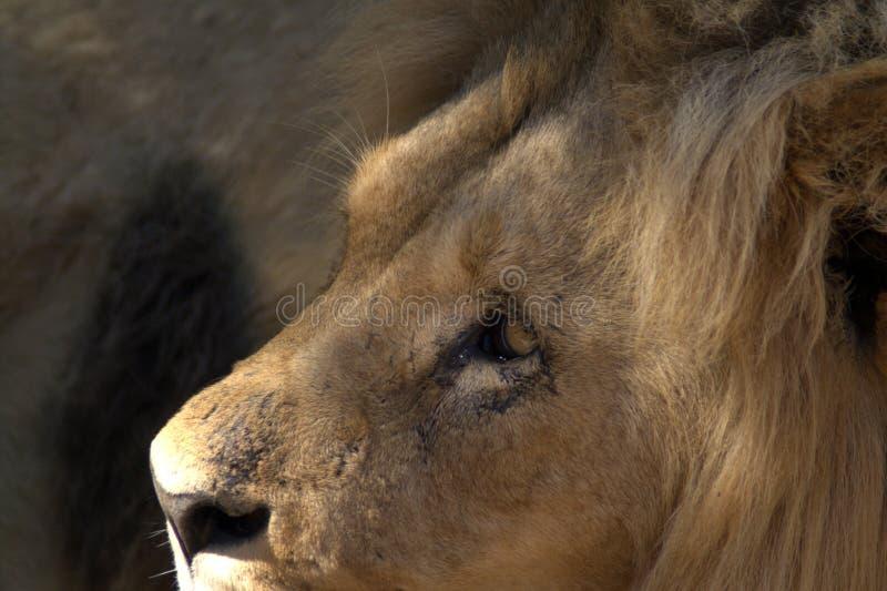 Retrato de um leão no perfil imagens de stock