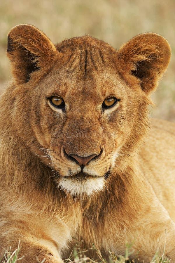 Retrato de um leão novo verticalmente imagem de stock