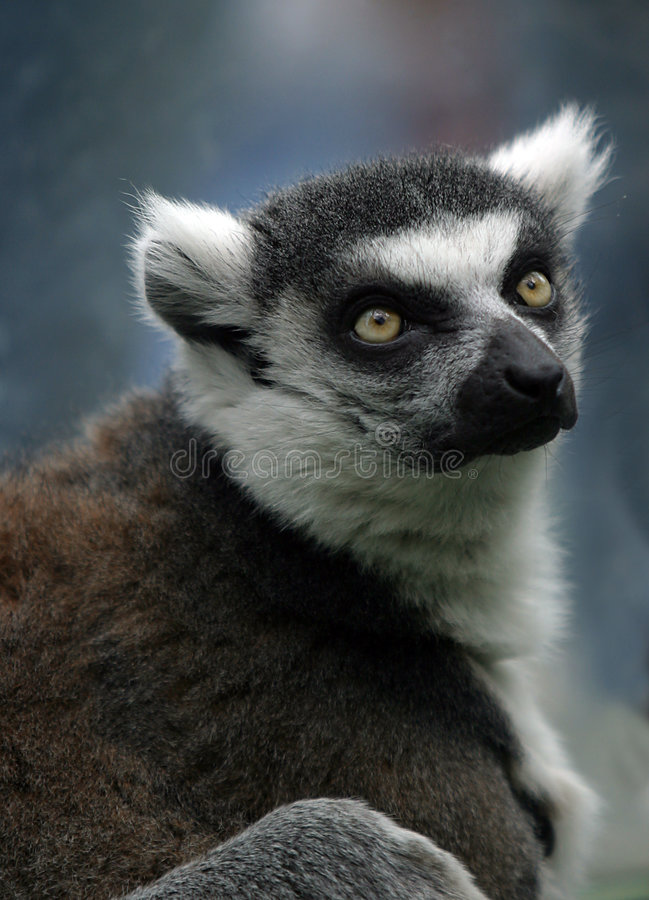 Retrato de um lemur imagem de stock