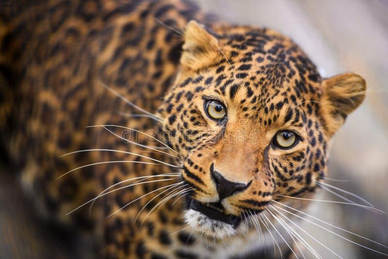 Retrato de um leopardo bonito imagens de stock