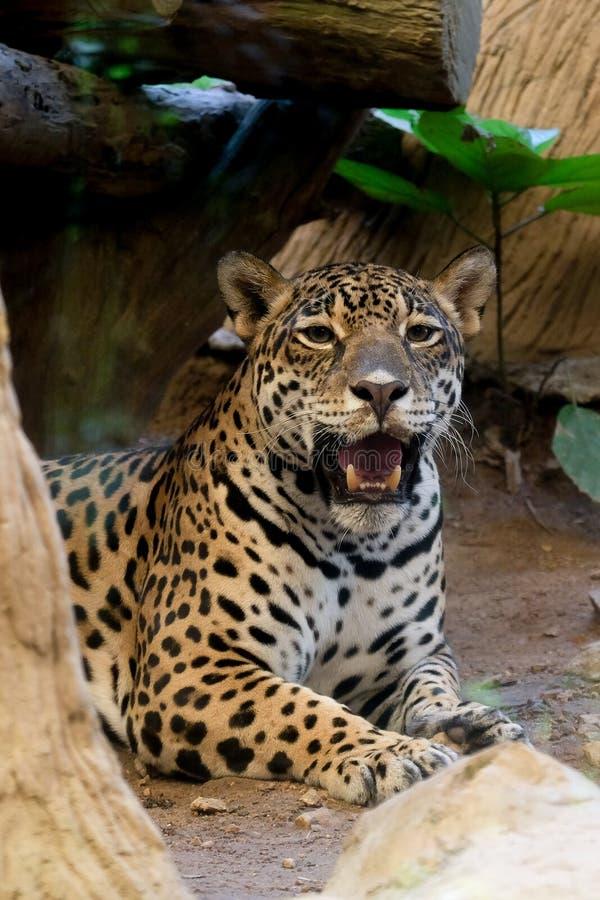 Retrato de um leopardo no jardim zoológico foto de stock