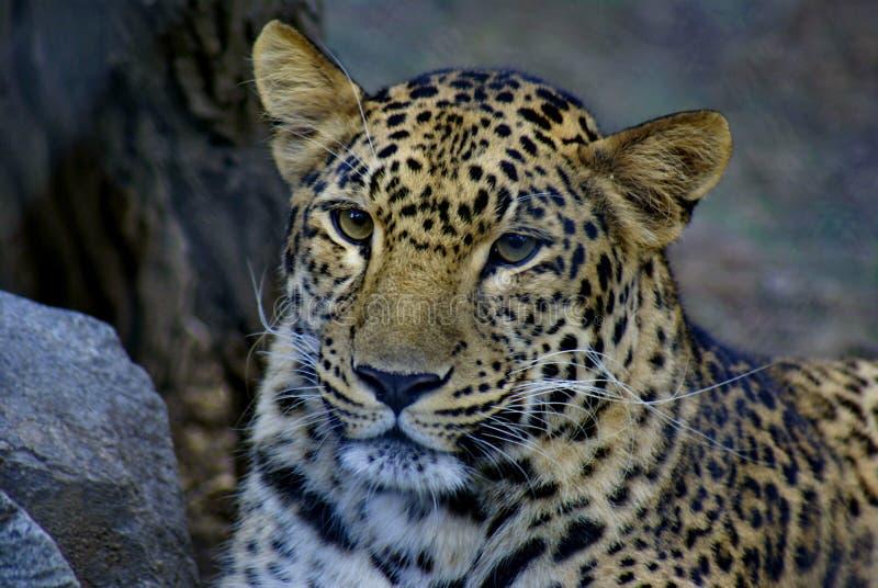 Retrato de um leopardo no jardim zoológico fotografia de stock