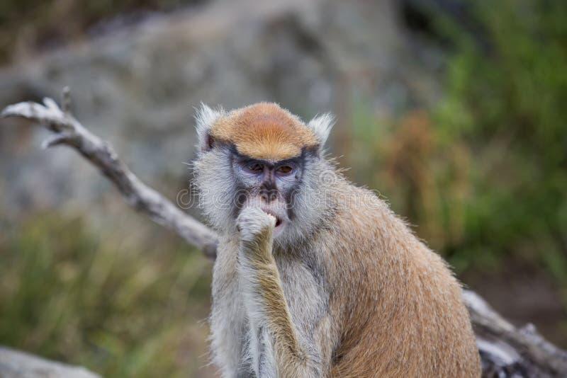 Retrato de um macaco de Patas foto de stock royalty free