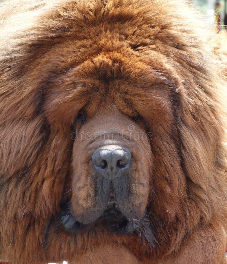 Mastiff tibetano imagens de stock