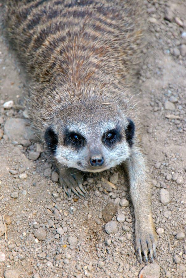Retrato de um meerkat bonito que encontra-se na terra fotografia de stock royalty free