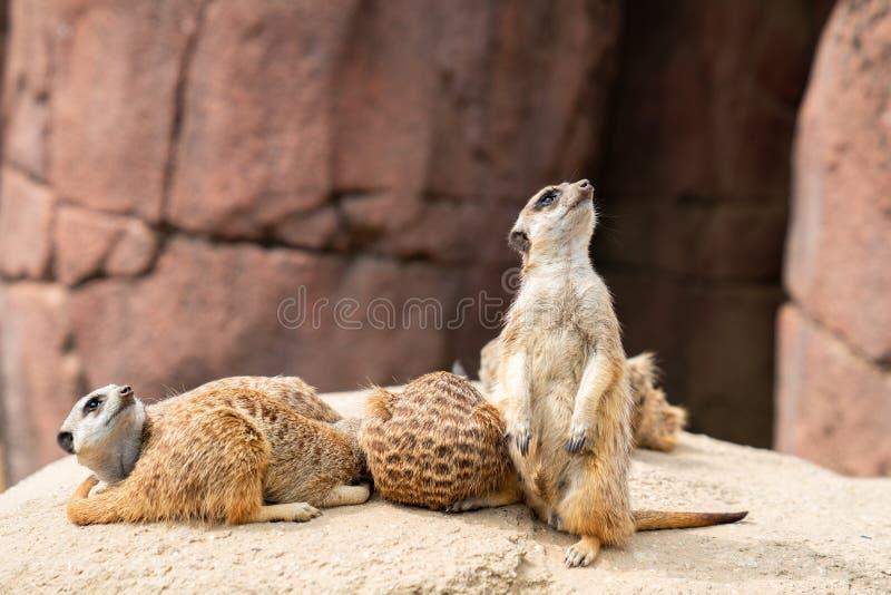Retrato de um meerkat que esteja guardando o grupo Vista acima para ver se há algum perigo foto de stock