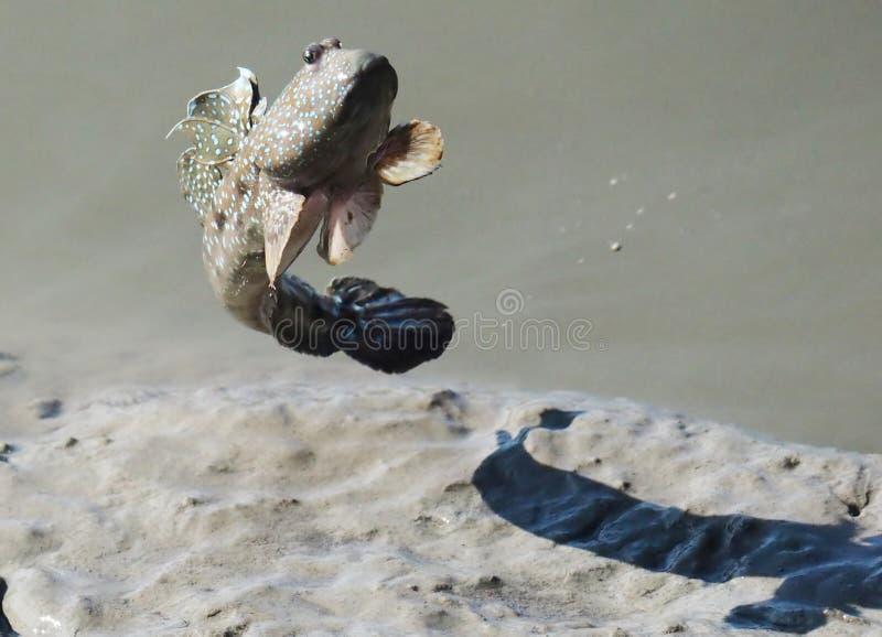 Retrato de um MUdskipper manchado azul imagem de stock royalty free