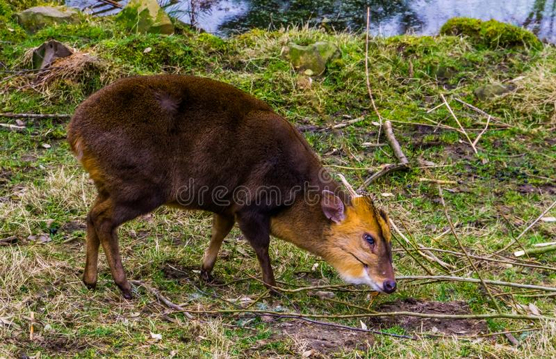 Retrato de um muntjac chinês masculino que pasta no pasto, cervo do close up de descascamento de Ásia imagem de stock royalty free