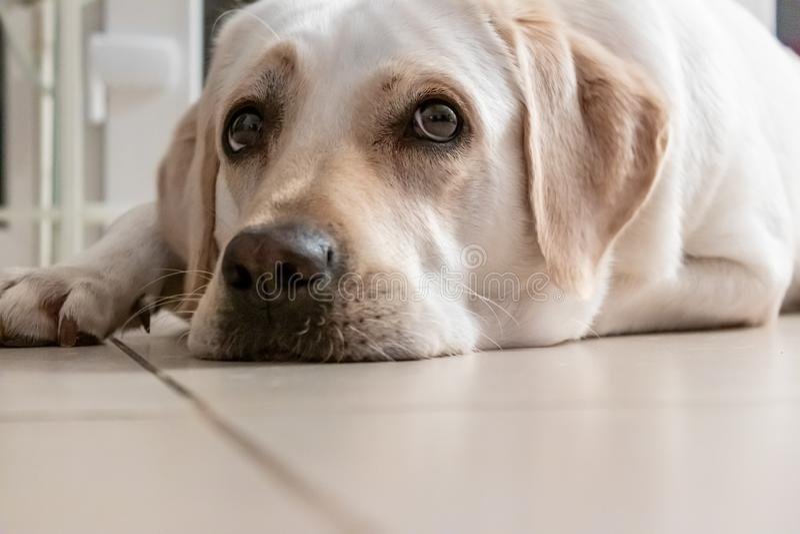 Retrato de um olhar dourado de labrador retriever, nível de olho, Freya fotos de stock