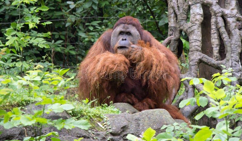 Retrato de um orangotango imagem de stock royalty free