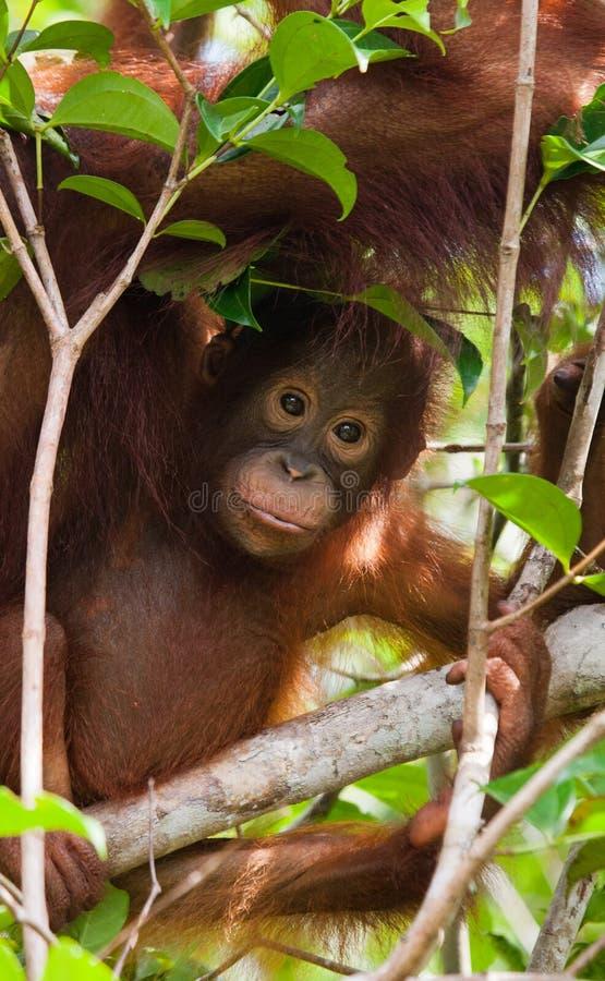 Retrato de um orangotango do bebê Close-up indonésia A ilha de Kalimantan Bornéu fotos de stock royalty free