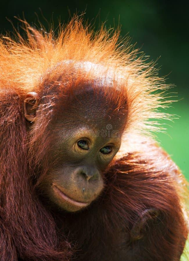 Retrato de um orangotango do bebê Close-up indonésia A ilha de Kalimantan Bornéu foto de stock royalty free