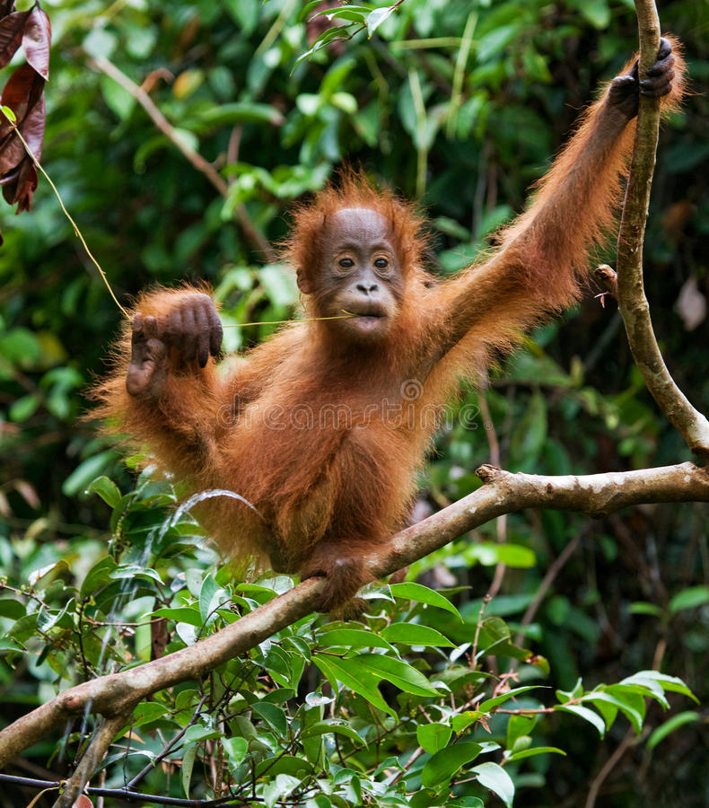 Retrato de um orangotango do bebê Close-up indonésia A ilha de Kalimantan & de x28; Borneo& x29; imagem de stock royalty free
