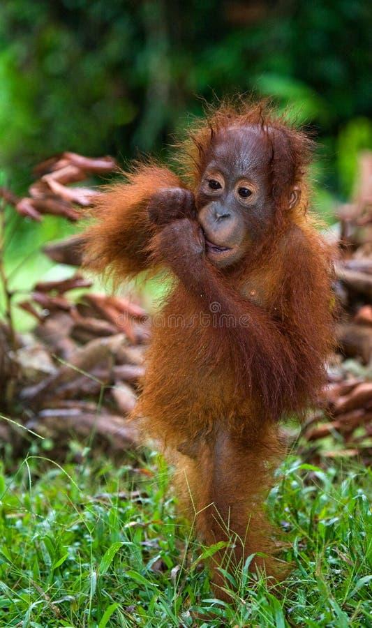 Retrato de um orangotango do bebê Close-up indonésia A ilha de Kalimantan & de x28; Borneo& x29; fotografia de stock