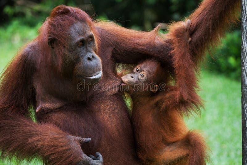 Retrato de um orangotango fêmea com um bebê no selvagem indonésia A ilha de Kalimantan Bornéu fotos de stock royalty free