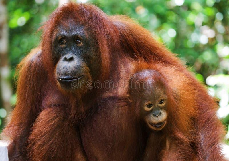 Retrato de um orangotango fêmea com um bebê no selvagem indonésia A ilha de Kalimantan & de x28; Borneo& x29; imagens de stock