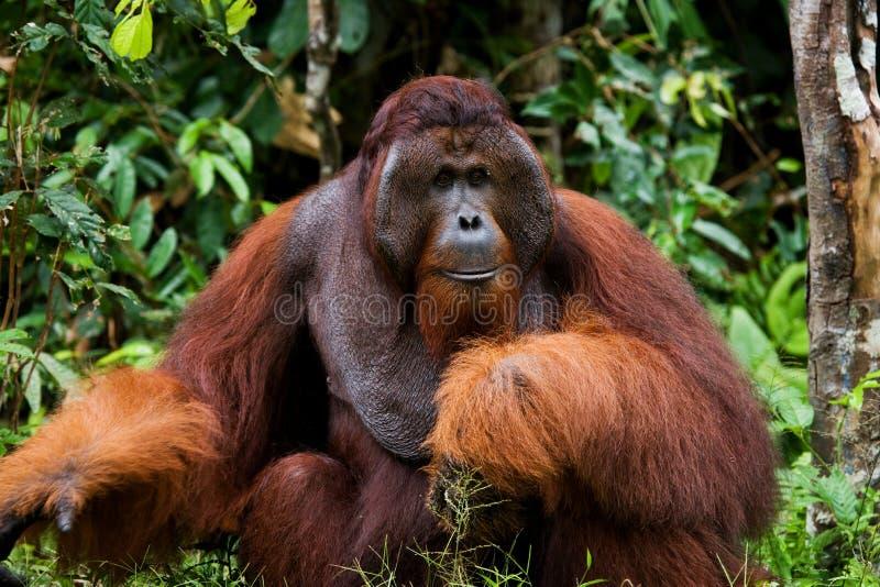 Retrato de um orangotango masculino Close-up indonésia A ilha de Kalimantan Bornéu foto de stock