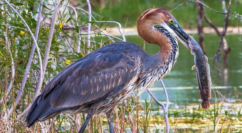 Retrato de um pássaro satisfeito E Lago Baringo, Kenya fotografia de stock
