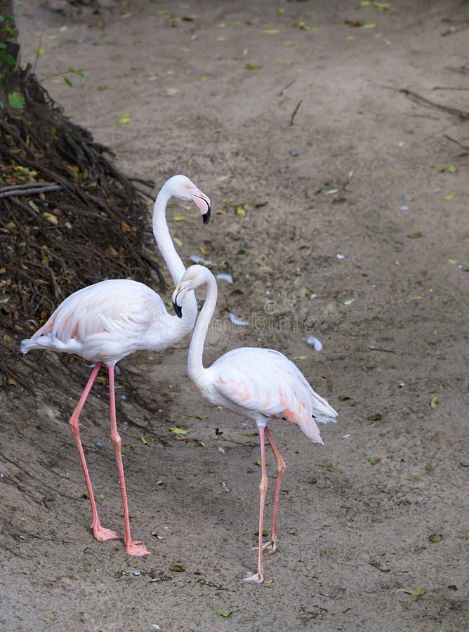 Retrato de um par bonito de flamingos cor-de-rosa novos fotografia de stock royalty free