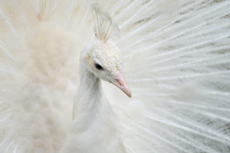 Retrato de um pavão branco fotos de stock royalty free