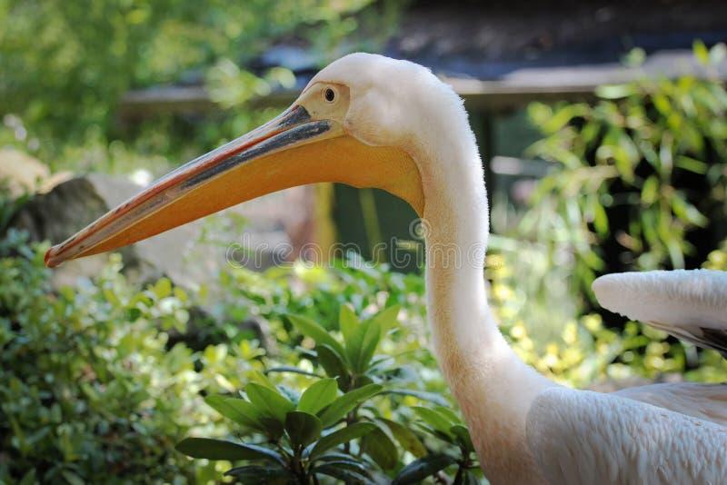 Retrato de um pelicano do perfil foto de stock