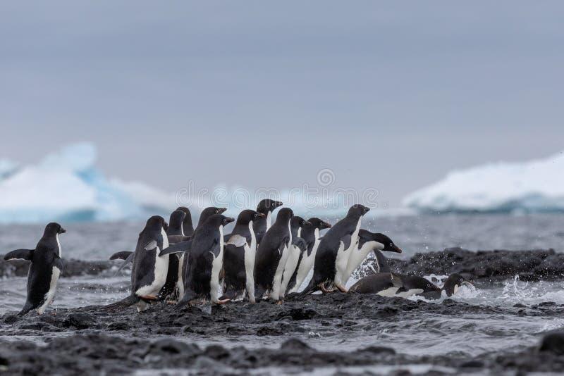 Retrato de um pinguim de Adelie Pinguins de Adelie que dirigem para o mar imagens de stock