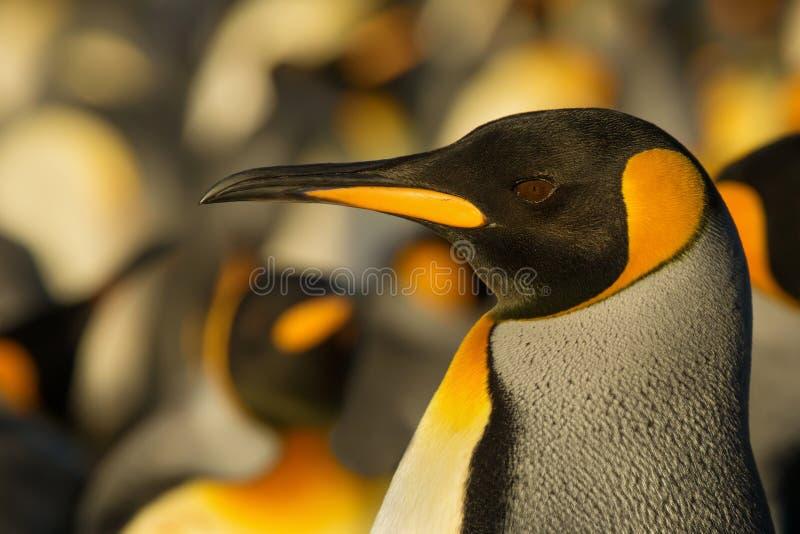 Retrato de um pinguim de rei adulto perto da colônia foto de stock royalty free