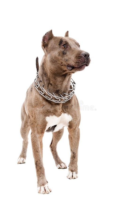 Retrato de um pitbull que está do comprimento completo imagem de stock royalty free