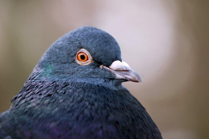 Download Retrato De Um Pombo Cinzento Foto de Stock - Imagem de pássaro, nave: 29847046