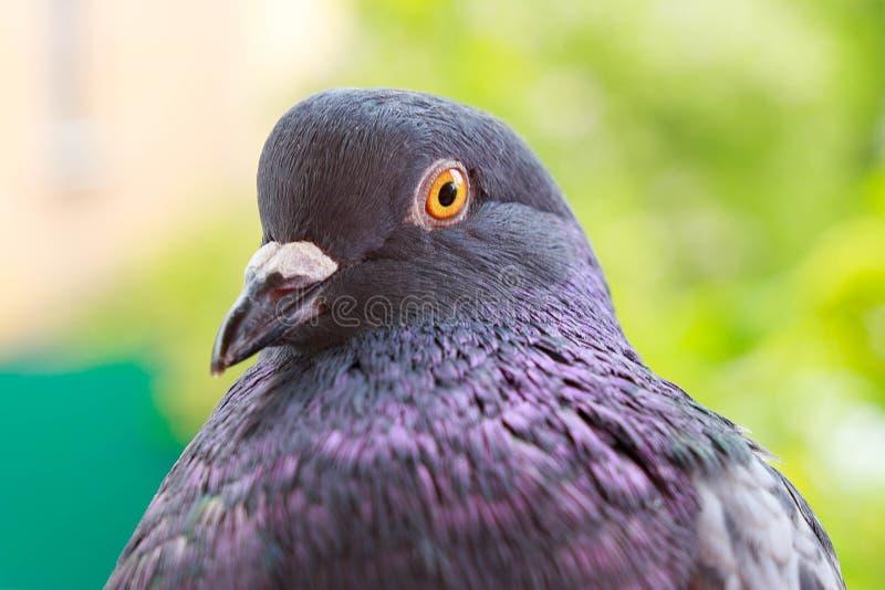 Retrato de um pombo fotografia de stock royalty free
