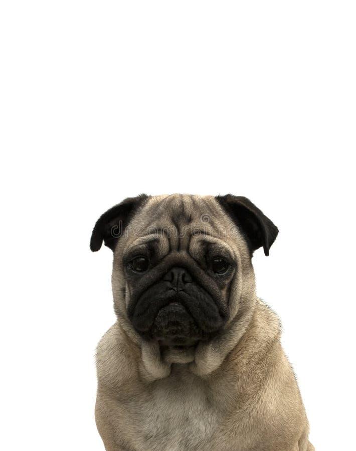 Retrato de um pug fotografia de stock
