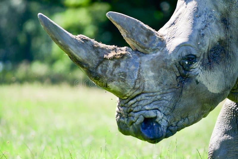 Retrato de um rhinocerous e de um ele chifre do ` s imagem de stock