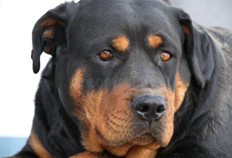 Retrato de um Rottweiler fotos de stock