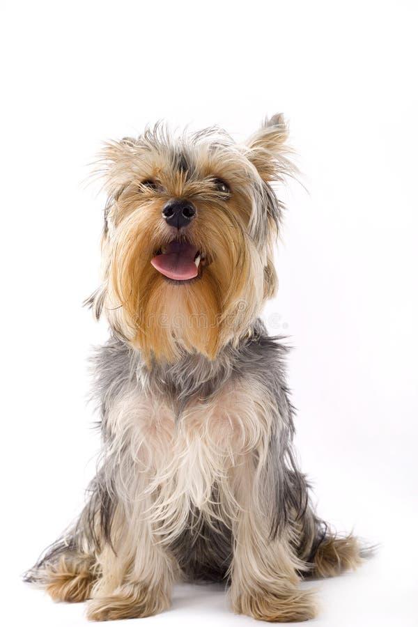 Retrato de um terrier de yorkshire assentado do filhote de cachorro imagens de stock