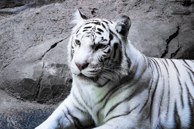Retrato de um tigre branco foto de stock
