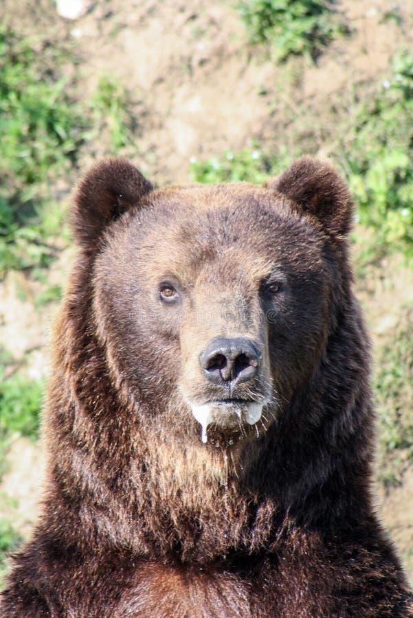 Retrato de um urso foto de stock
