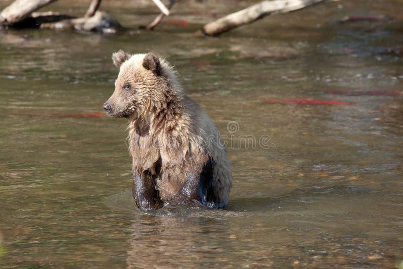 Retrato de um urso marrom do filhote marrom pequeno foto de stock royalty free