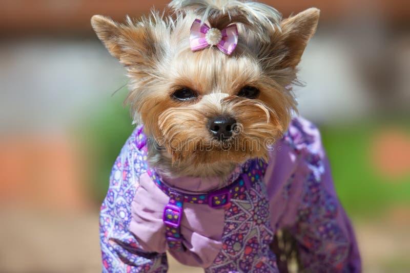 Retrato de um yorkshire terrier no terno fotos de stock