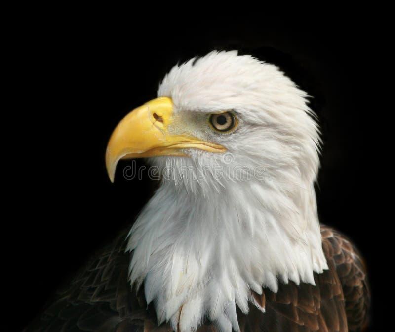 Retrato de uma águia calva fotografia de stock royalty free